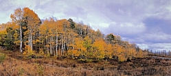 Aspens in the Wasatch - Pine Canyon