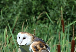 Barn Owl Among the Cattails