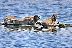 Sun bathing Harbor Seals
