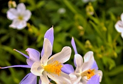Columbine Bloom