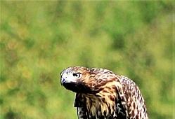 Hawk Not Happy